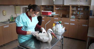"""Бедстващ бял щъркел е приет в Спасителния център на """"Зелени Балкани"""""""