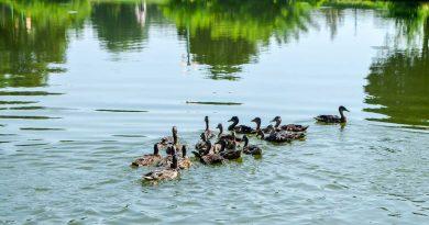 """20 млади диви патици заплуваха в езеро """"Загорка"""""""